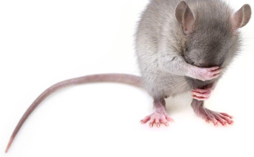 Szczur w domu, gdzie trzeba szukać pomocy?